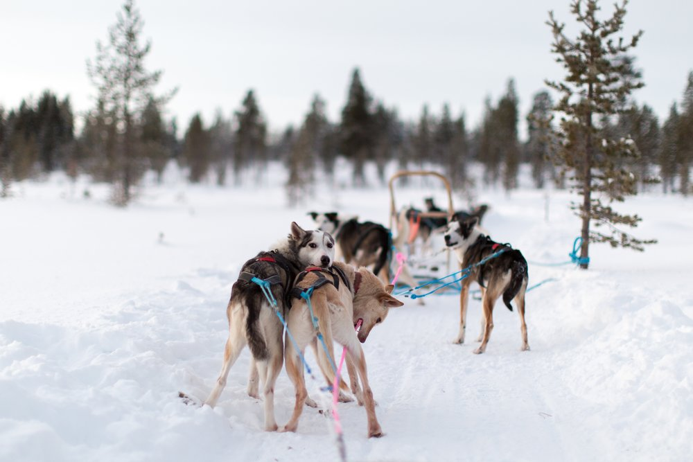 Dog Sledding Lapland.jpg