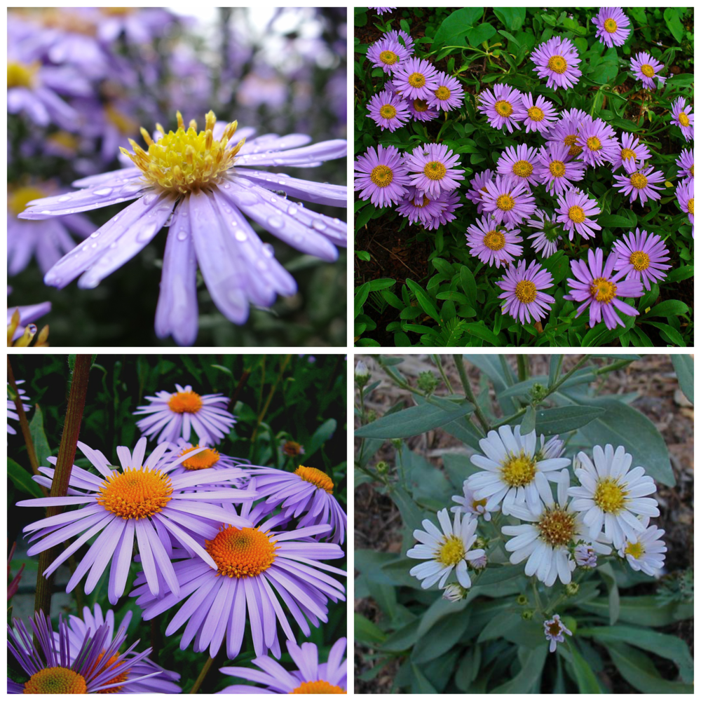 Butterflies love the Aster's lavender and cream colored blooms