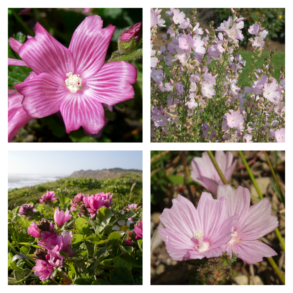 The Dwarf Checkerbloom's delicate petals are a haven for California butterflies