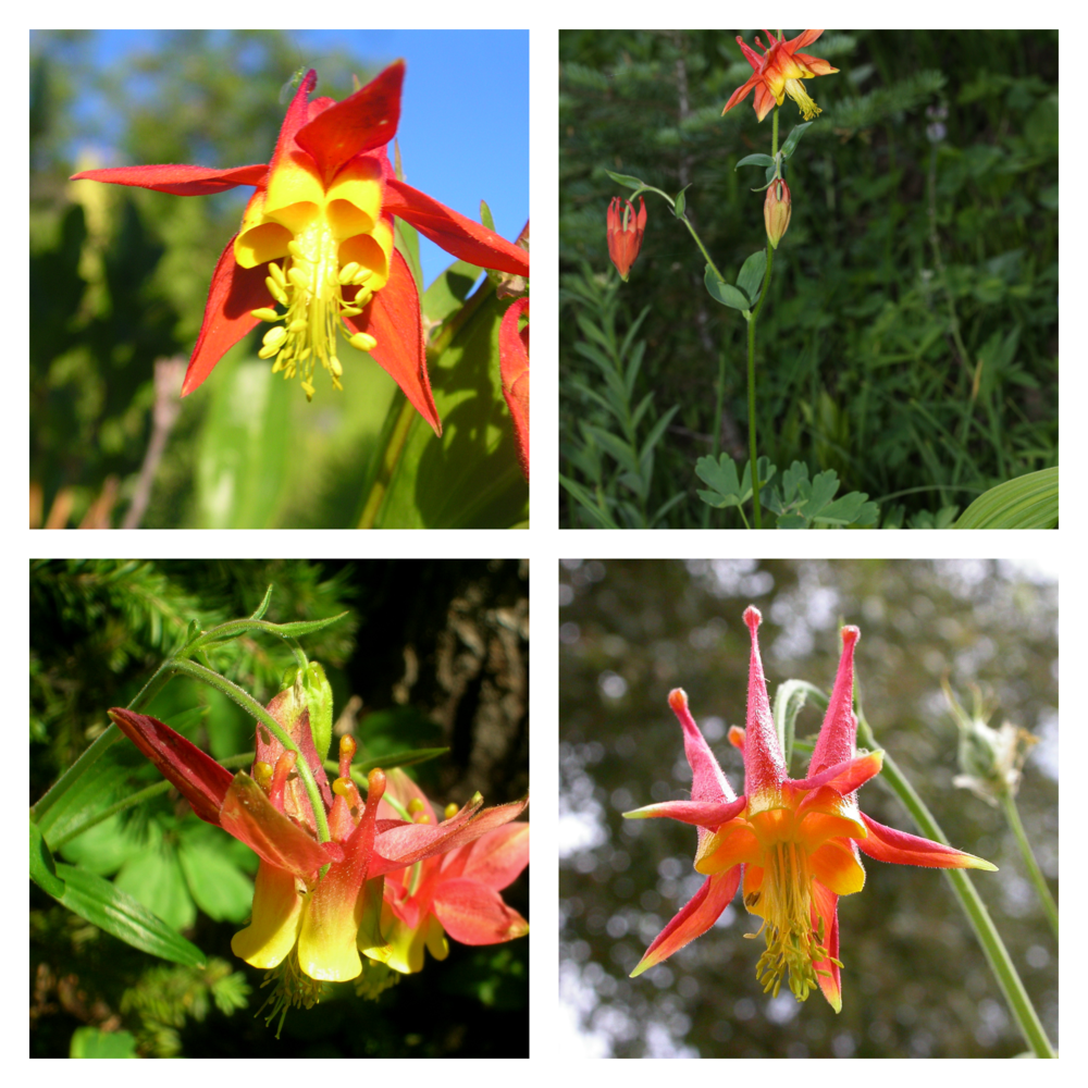 The Western Columbine's vibrant red and yellow coloring attract local hummingbirds