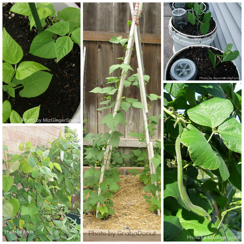 Pole and Runner Beans love to grow in the Northern California Climate
