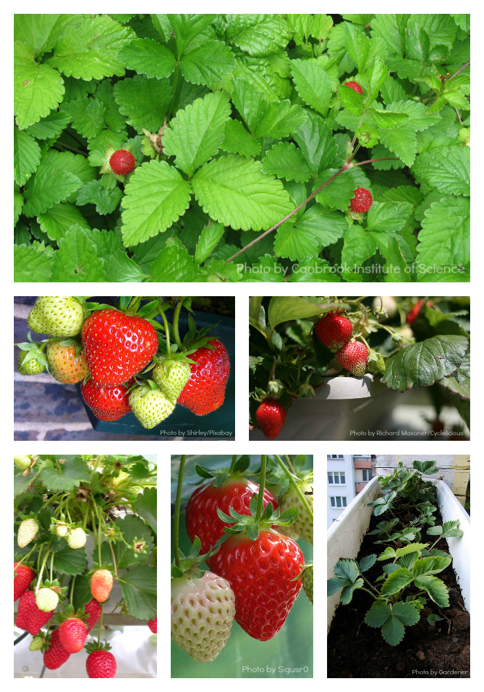 Strawberries are easy for beginners, and some varieties produce berries all season