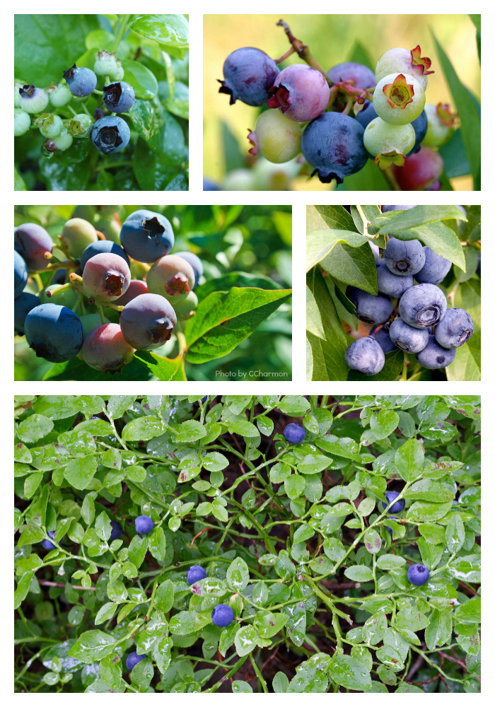 Blueberries are packed with antioxidants, fiber, and vitamin C - plus they are delicious!