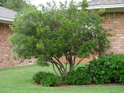 Wax Myrtle by  Garden Posts blog