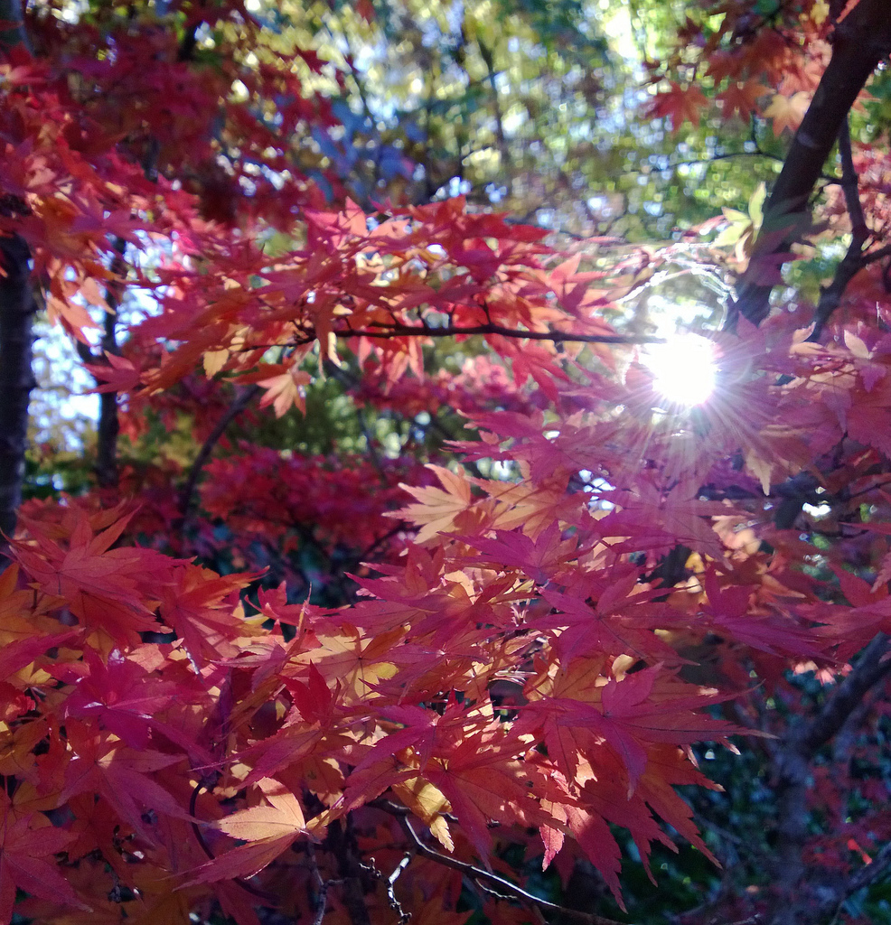 Freeman Maple (Autumn Blaze) by Surtr