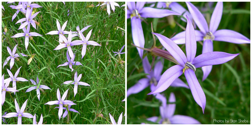Blue Star flowers are great because they are beautiful and have long bloom times