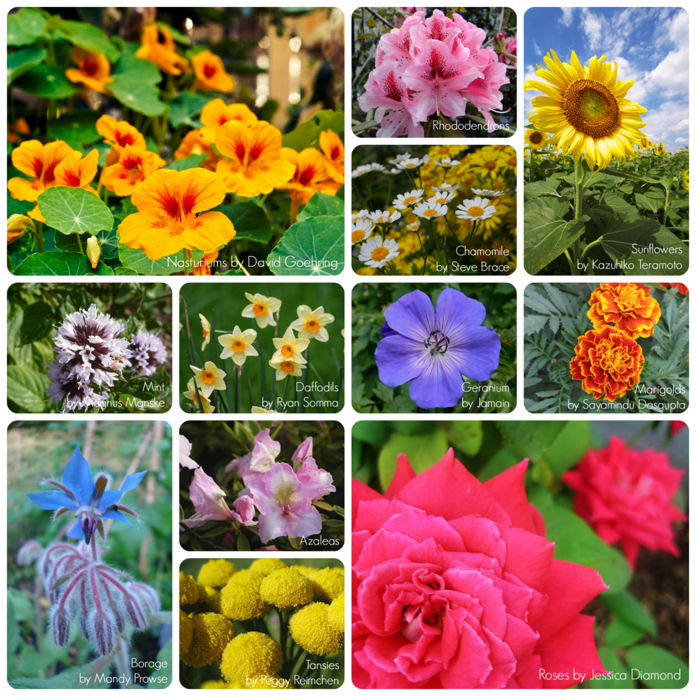 A sampling of beautiful flowers that have a symbiotic relationship with edible plants