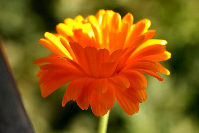 Golden Calendulas will bring cheer to your Fall garden (Photo by  Til Westermayer )