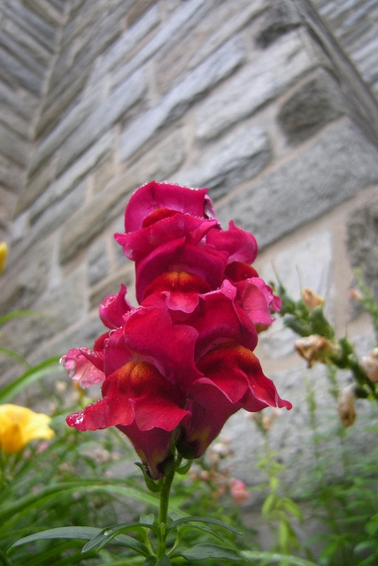 Snapdragons love cool weather, and are highly attractive to birds, bees, and butterflies (Photo by  Roberta Maria Atti )
