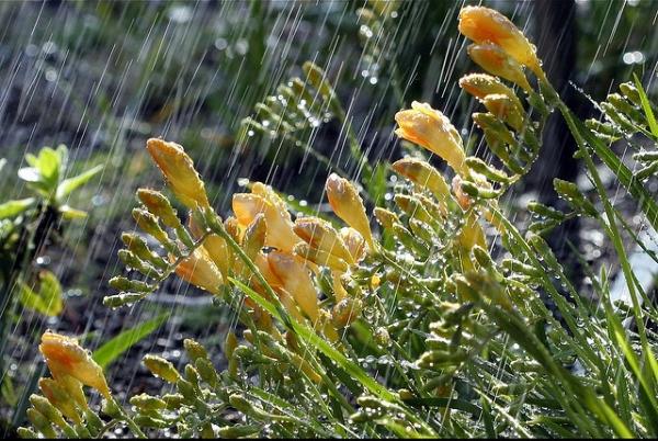Freesias caught in a lovely Springtime shower (Photo by John Morgan )