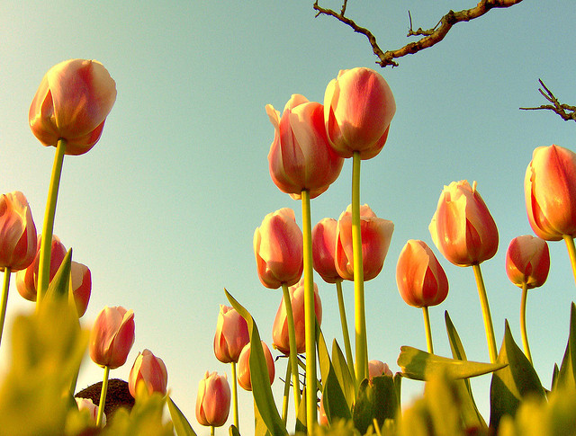 Tulips are traditionally sought after for bulb planting (Photo by Kıvanç Niş)