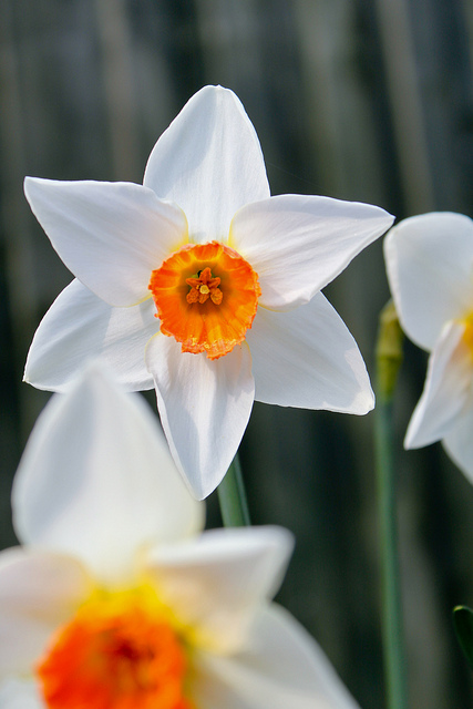 Crisp colors of a Tri-Color Daffodil (Photo by Mark Sykes )