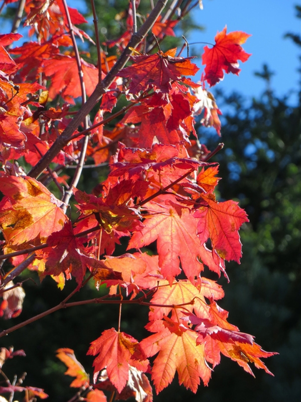 Vine Maples are a smaller tree variety, but they make up for it with their intense Fall color (Photo by  Jinx McCombs )