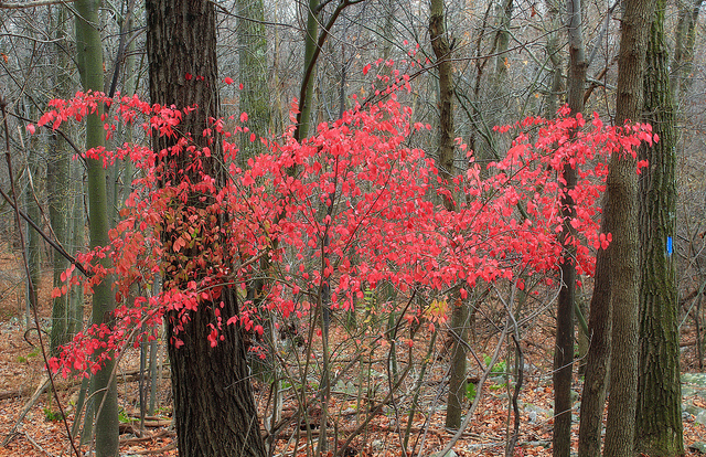 The dainty multiple trunks of the Serviceberry tree make the crimson leaves look like a floating cloud of Autumn (Photo by  Nicholas A. Tonelli )