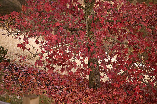 This variety of the American Sweetgum has intense crimson leaves during the Fall season (Photo by  Tracey Adams )