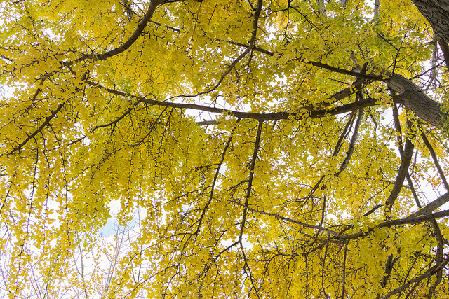 A canopy of gold during the Fall provided by the lofty Ginkgo Biloba tree (Photo by  Edsel Little )