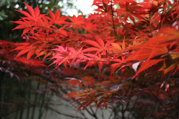 A Mature Japanese Maple and its showy red Fall foliage (Photo by  Wilf )
