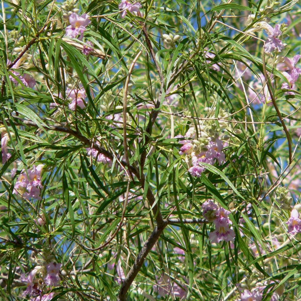 More Desert Willow - Image by  Stan Shebs