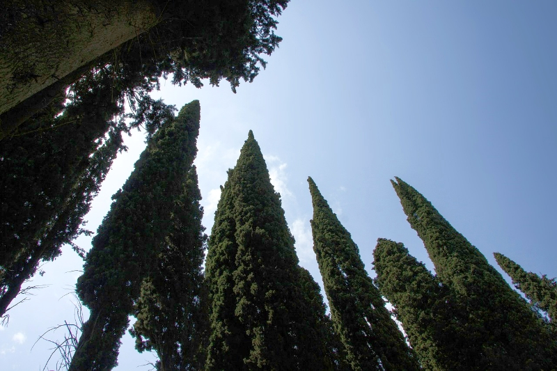 Italian_Cypress