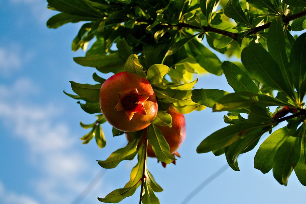 pomegranate-712067_1280.jpg