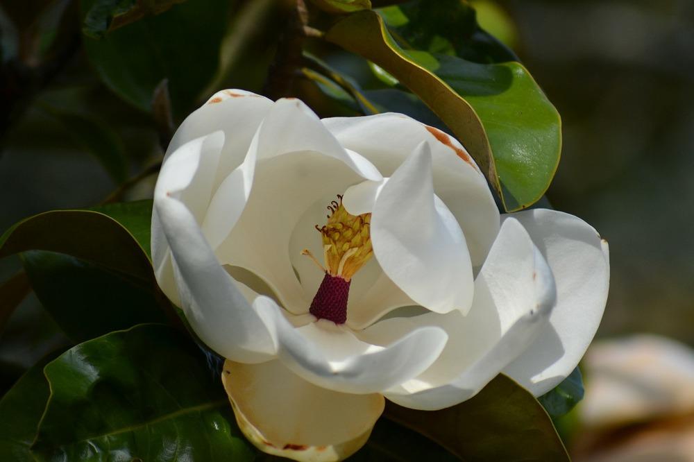 magnolia-grandiflora-270999_1280.jpg