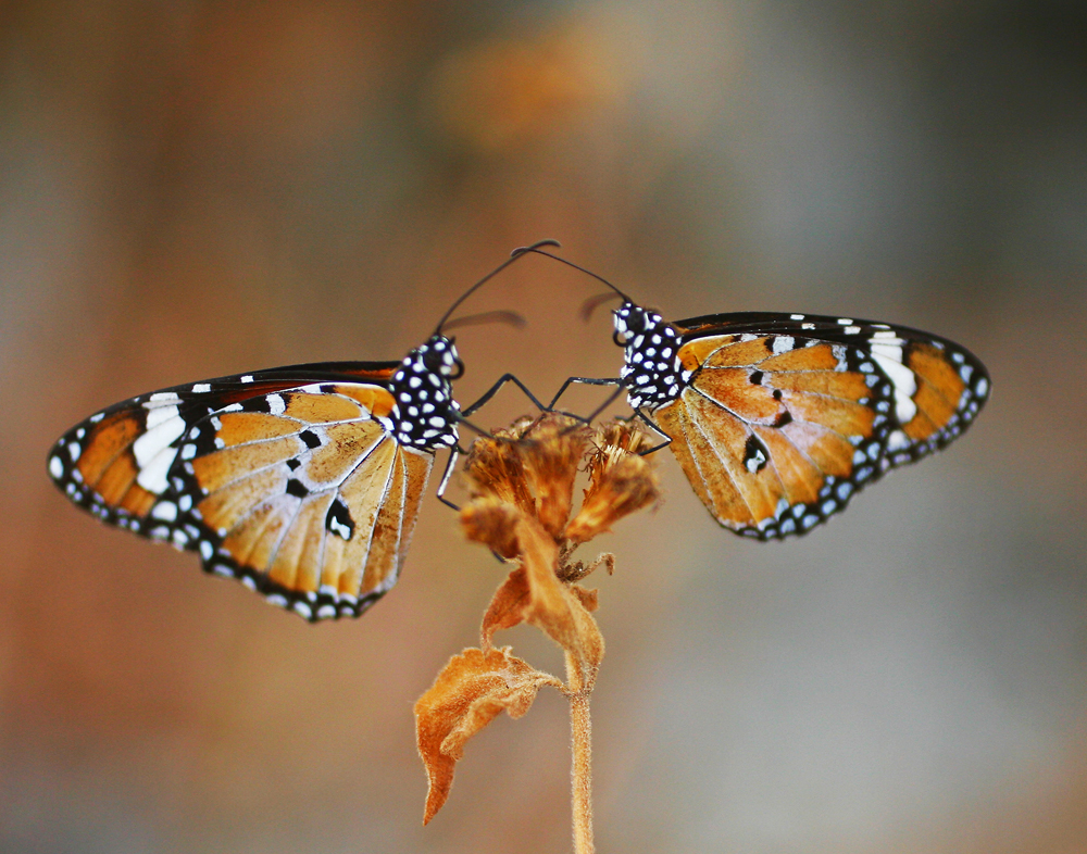 Monarcas, Tocando