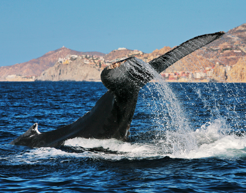 Humpbacks, Los Cabos