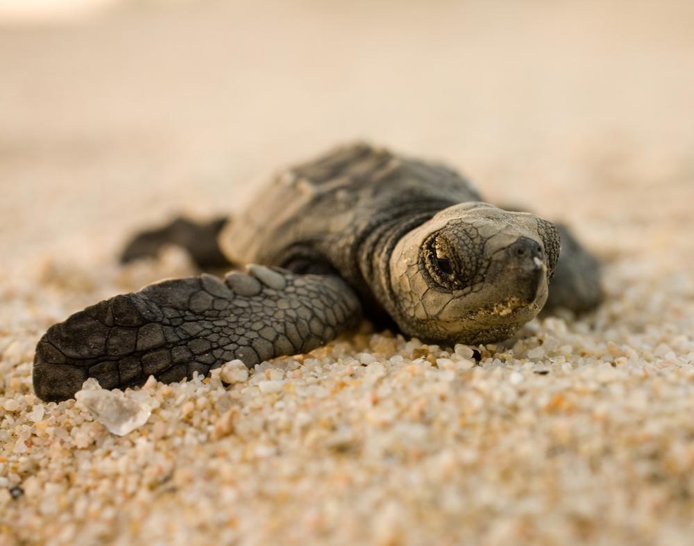 Baja Baby Turtle