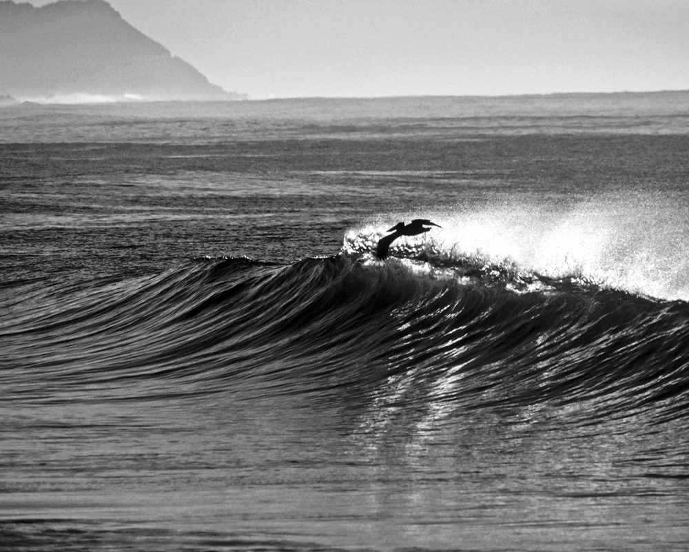 Surfing Pelican, La Playita