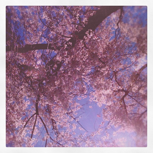 #japanese #weepingcherry at #morrisarboretum #heals the #soul (Taken with instagram)