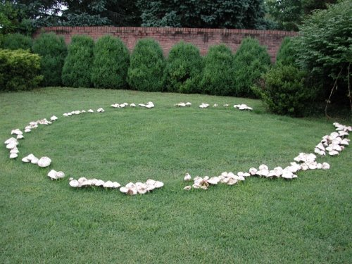 jonahewell: A fairy ring of mushrooms.