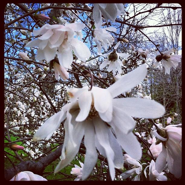 #starmagnolia smells like heaven! #morrisarboretum