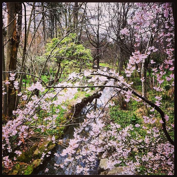 #morrisarboretum #stream #sakura #cherryblossom