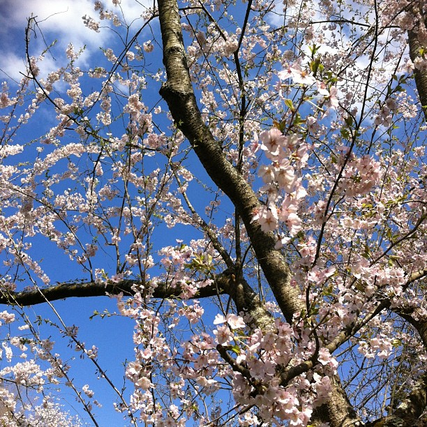Mmmm dreamy… #sakura #cherryblossom #morrisarboretum #goodforthesoul #natures medicine #healing