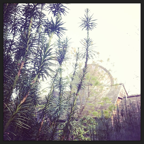 An interesting varietal of #pine. #idyllic #swarthmorecollege #springadventures