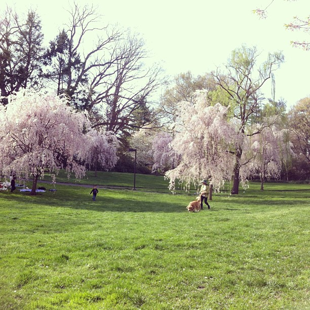 cherry blossom grove!!! :gush:!!! #majestic #idyllic #spring #swarthmorecollege #springadventures #cherryblossom #weepingcherry
