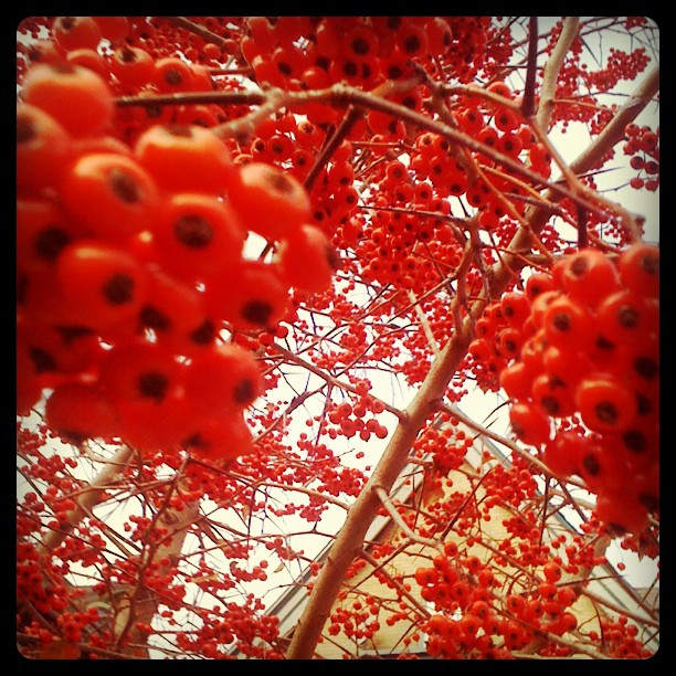 Beautiful winter #berries