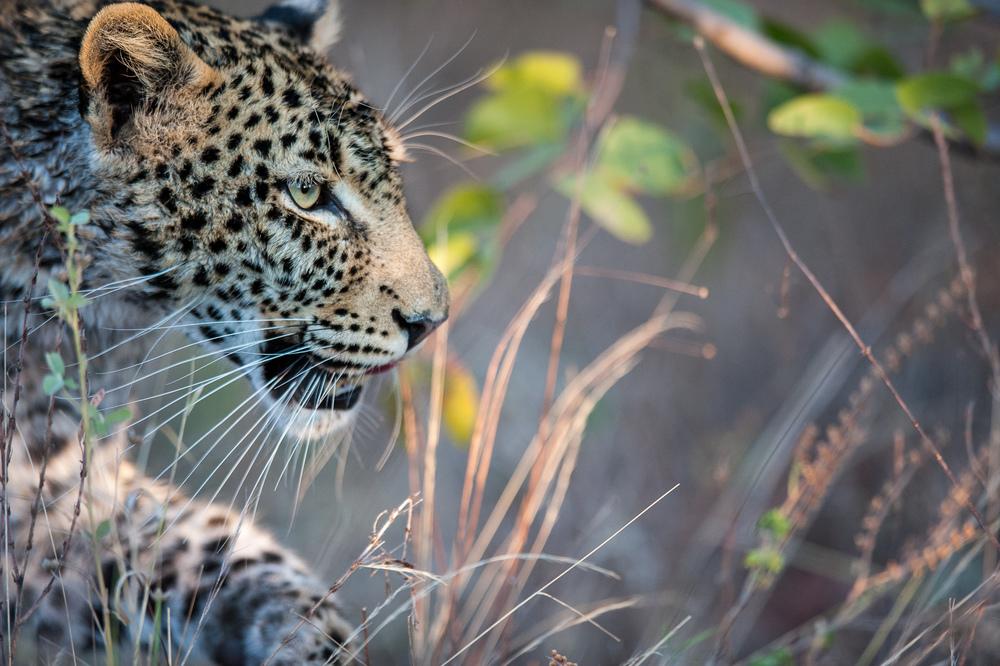 Mother leopard. Okavango Delta, Botswana