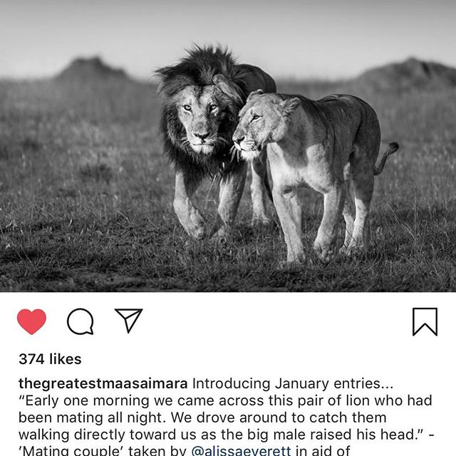Dragging myself from Instagram oblivion with a special image I submitted for a wildlife competition. Since living in Kenya, I've begun documenting the incredible creatures with whom we share this planet. Lovely to have a mention, evening more so to have witnessed this couple. Thanks @angamasafari and @cottars.safaris #conservation #wildlife #lion #romance #Nikon #blackandwhite