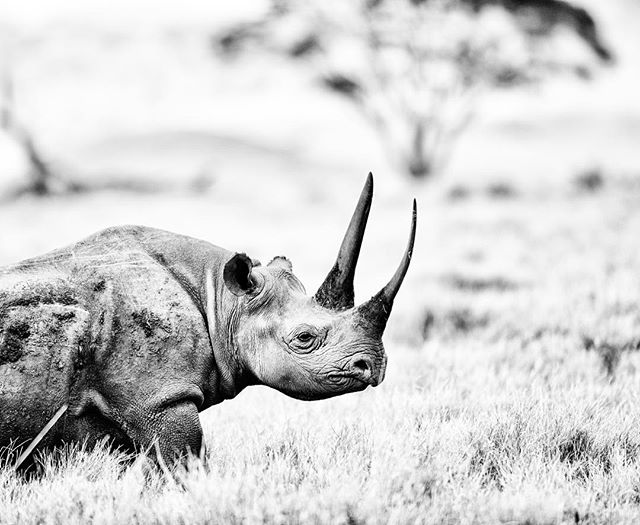 Vanishing.. the black rhino. The smaller of the African species, a browser, asshole and very shy, black rhinos weigh about a ton and can live to be 30-35 in the wild. An estimated 65,000 roamed Africa in the 1970s, by 1995 had dwindled to less than 2,500. Today, thanks to conservation efforts, the number has increased to over 5,000 but they remain critically endangered. I photographed this male in the Lewa Conservancy, home to 14% of Kenya's rhino, with no incidents of pacing since 2013.  #lewaconservancy #lewa #kenya #wildlife #conservation #nikon #endangeredspecies #rhino #blackandwhitephotography