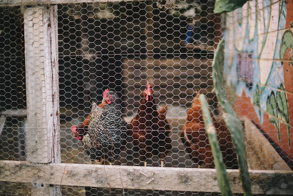 Urban Agriculture Chickens | The Honest Home Podcast