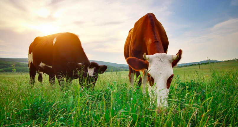 Photo credit https://foodrevolution.org/blog/the-truth-about-grassfed-beef/
