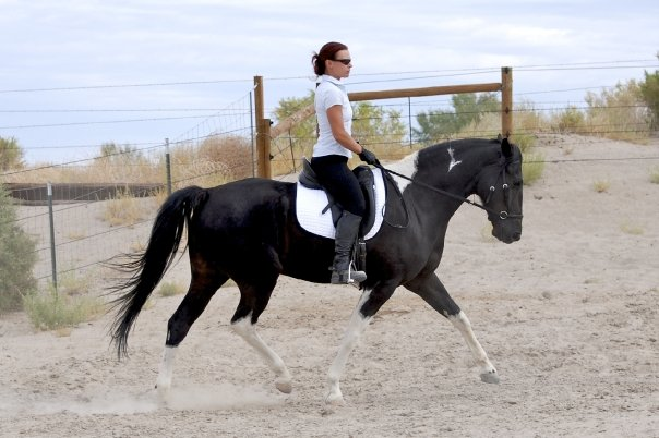 Dressage is for Gaited Horses too!