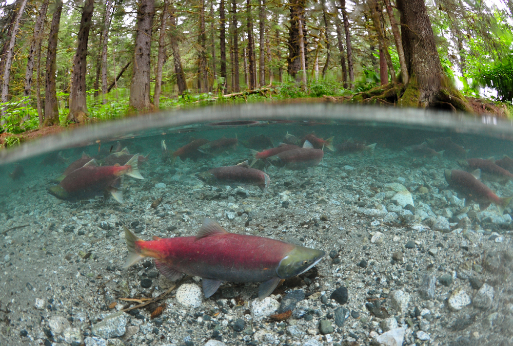 Sockeye salmon spawning in Chilkoot River, Photo © by Paul Vecsei