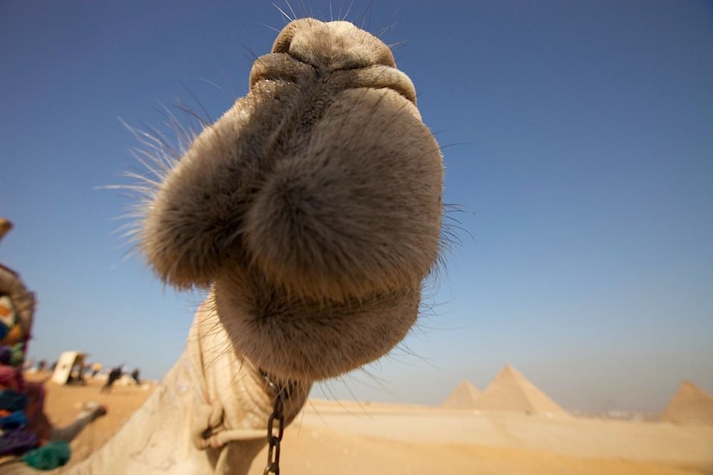 Camel inspecting the lens at Giza.