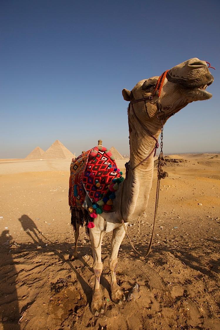 Camel smiling at Giza.