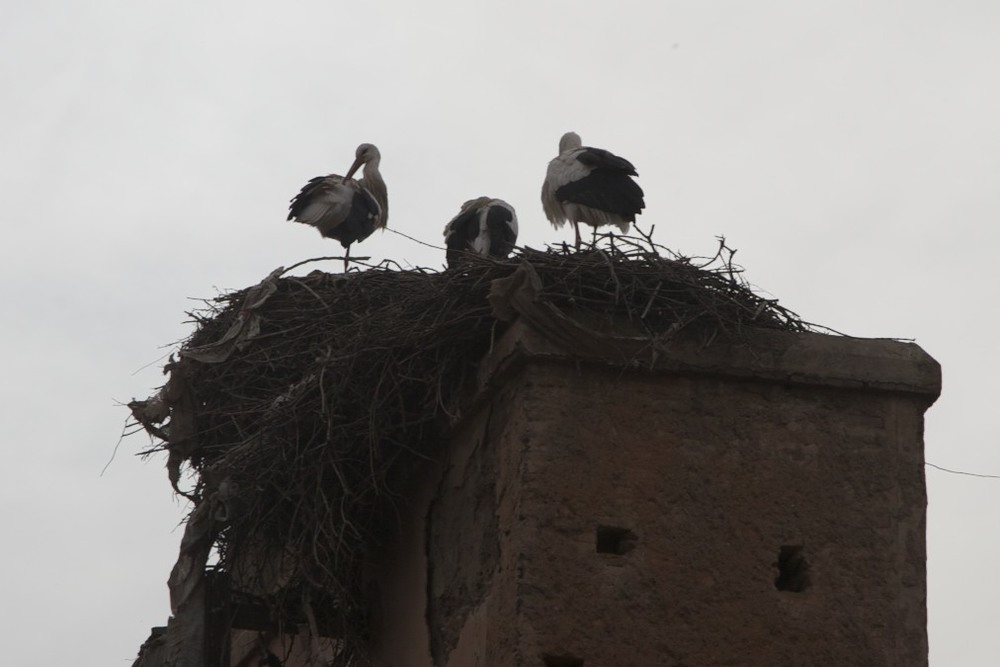 Storks outside the Saadian Tombs in Marrakech.
