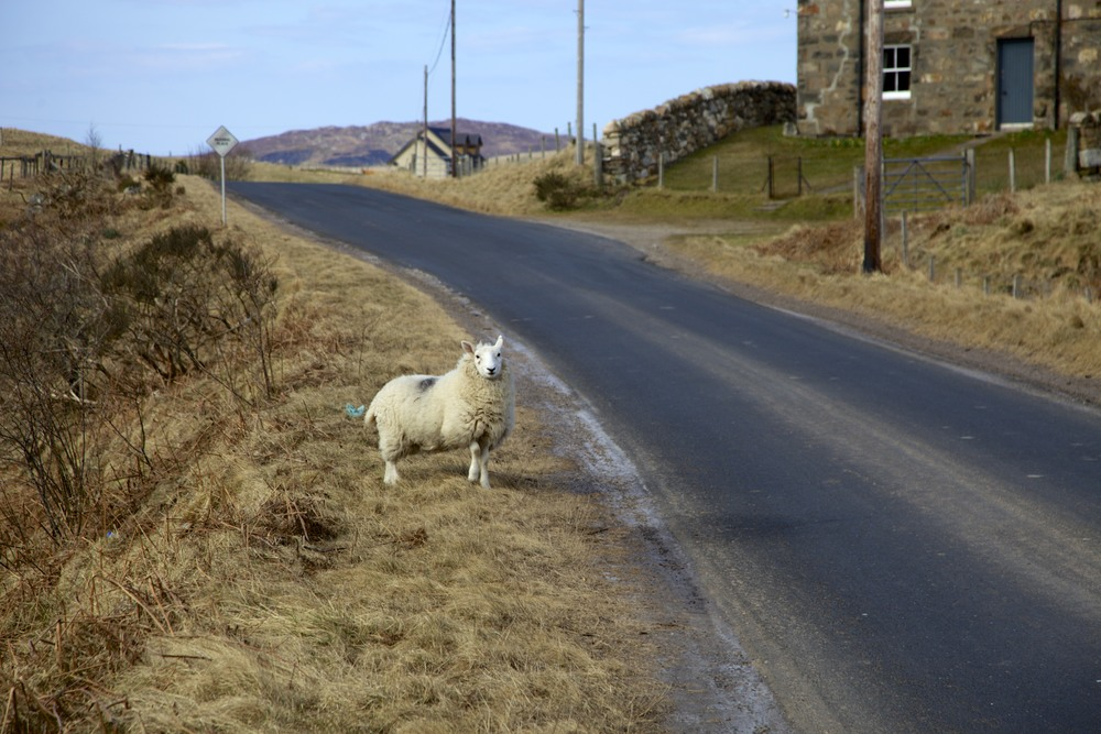 A sheep on the wrong side of the fence on the drive back to Ullapool.  (Scotland.)