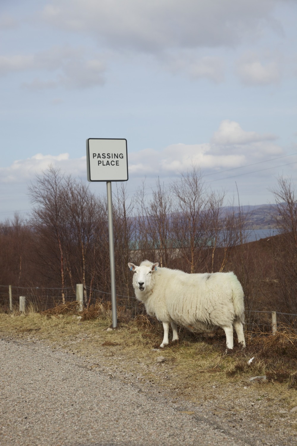Still another sheep on the drive back to Ullapool.  (Scotland.)