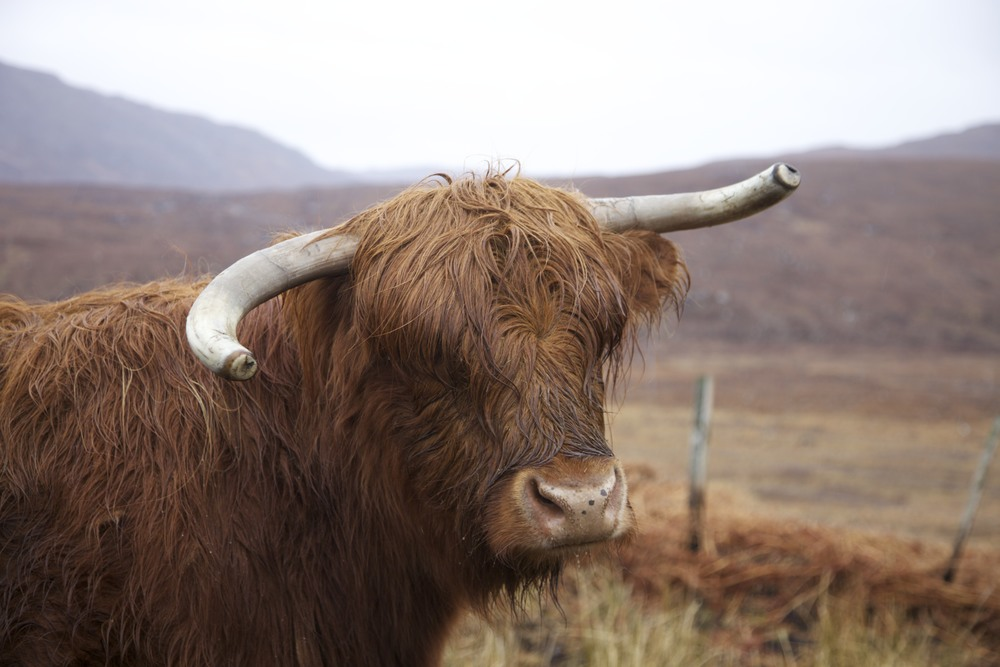 A large animal with a bad hair day.  (Vaguely near Ullapool, Scotland.)
